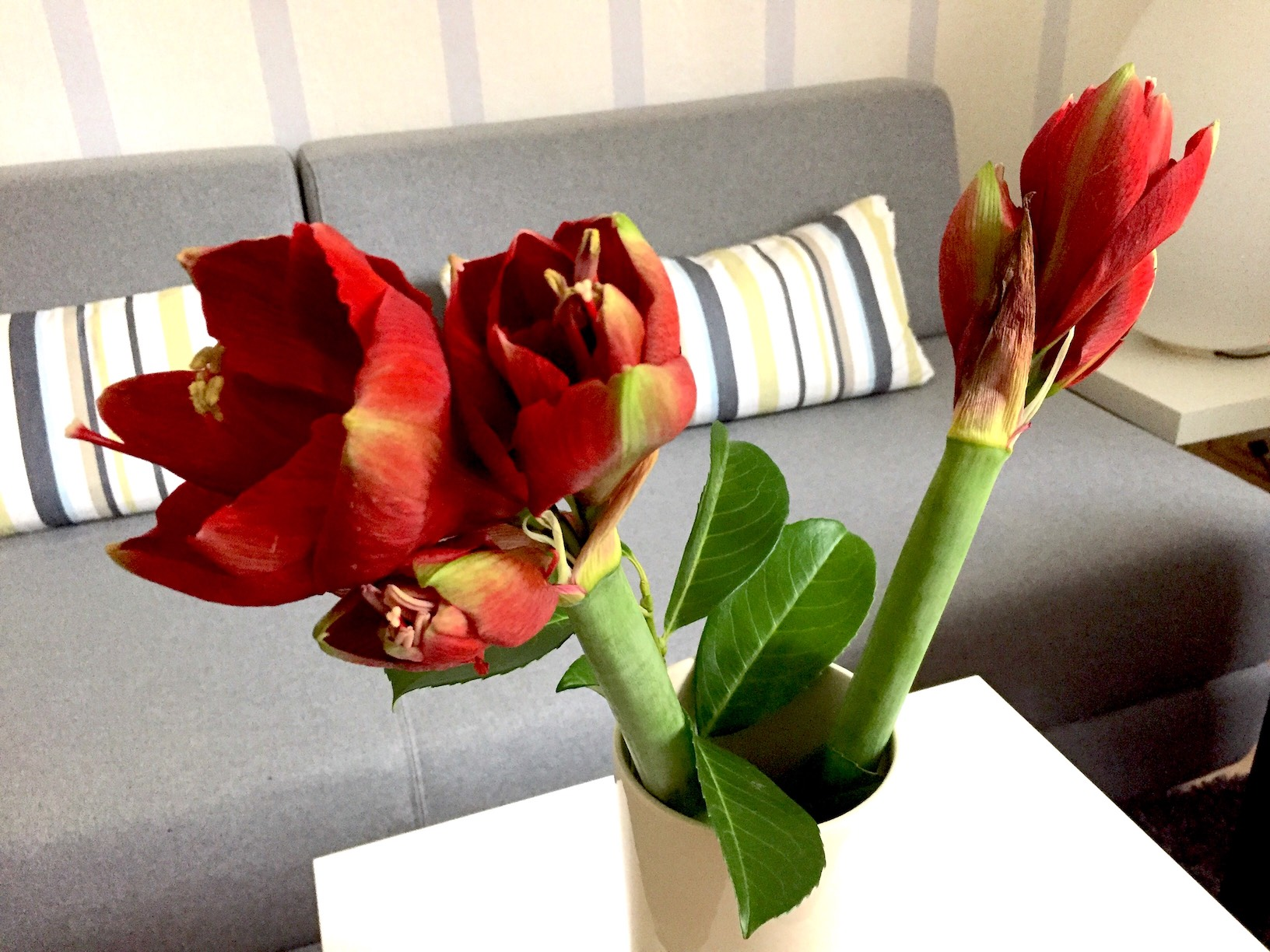 Amaryllis als Schnittblumen in der Vase