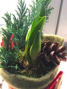 Einer Amaryllis im Topf beim Wachsen zuzusehen, macht gerade im Winter besonders große Freude.